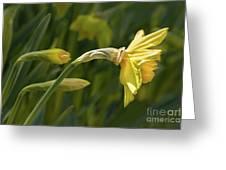 Daffodil In Sun Greeting Card