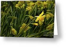 Daffodil Starlight Greeting Card