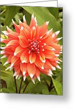 Dahlia Bloom Flower Greeting Card