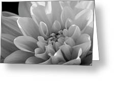 Dahlia In Monochrome Greeting Card
