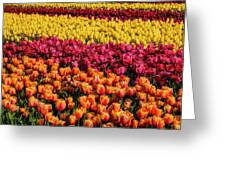 Dreaming Of Endless Colorful Tulips Greeting Card