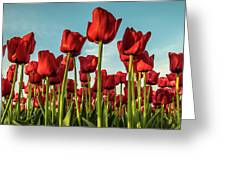 Dutch Red Tulip Field. Greeting Card