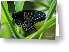 Eastern Black Swallowtail - Closed Wings Greeting Card
