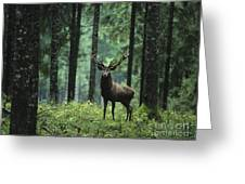 Elk In Forest Greeting Card