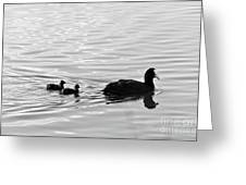 Eurasian Coot And Offspring In Ria Formosa, Portugal. Monochrome Greeting Card