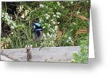 Fairy-wren 3 Greeting Card