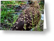 Falcon Chimango Caracara, Tierra Del Fuego National Park, Ushuaia, Argentina Greeting Card