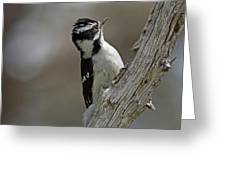 Female Downy Woodpecker Greeting Card
