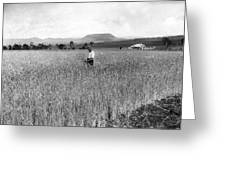 Field Of Wheat Campbell S Plains  Darling Downs Greeting Card