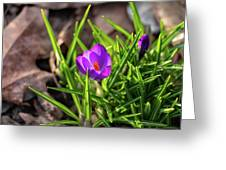 First Crocus Of 2019 Greeting Card