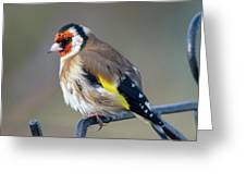Fluffy Goldfinch Greeting Card
