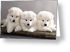 Funny Puppies Of Samoyed Dog Or Bjelkier Greeting Card
