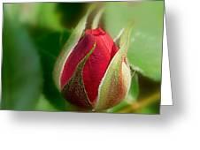 Garden Series - I V Greeting Card