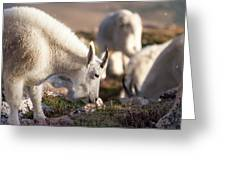 Grazing On Mount Evans Greeting Card