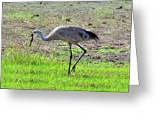 Grazing Sand Hill Crane Greeting Card