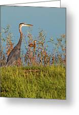Great Blue Heron Looking For Food Greeting Card