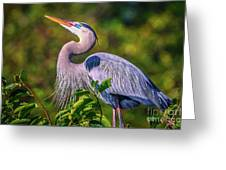 Great Blue In Mating Plumage Greeting Card by Tom Claud