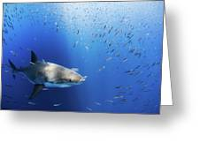Great White Shark Greeting Card by Nicole Young