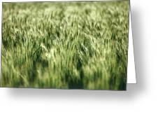 Green Growing Wheat Greeting Card
