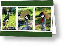 Grey Crowned Crane Gulf Shores Al Collage 6 Triptych Greeting Card