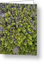 Grove Of Pines Aerial Greeting Card