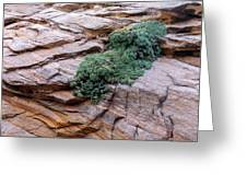 Growing From The Rock Terrain In Zion  Greeting Card