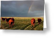 Heifers And Rainbow Greeting Card by Rob Graham
