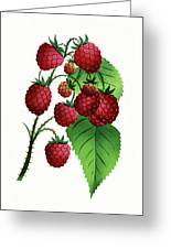 Hepstine Raspberries Hanging From A Branch Greeting Card