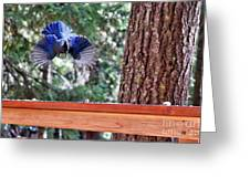 Incoming Steller's Jay Greeting Card