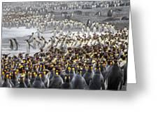 King Penguin Rookery At Salisbury Greeting Card