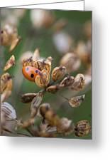 Lady Bird / Lady Bug In Flower Seed Head Greeting Card