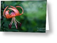 Lancifolium - The Tiger Lily Greeting Card