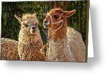 Llama Love Greeting Card by Jon Exley