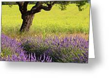 Lone Tree In Lavender And Mustard Fields Greeting Card by Brian Jannsen