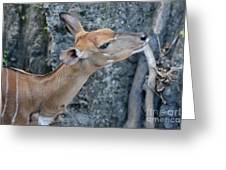 Lowland Nyala Greeting Card