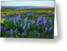 Lupines At Sunrise Greeting Card