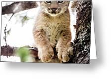 Lynx Kitten In Tree Greeting Card by Tim Newton