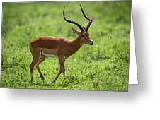 Male Impala Crossing Grassland With Tongue Out Greeting Card