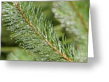 Moist Pine Tree Leaves With Water Droplets. Greeting Card