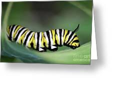Monarch Caterpillar Macro Greeting Card