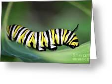 Monarch Caterpillar Macro Number 2 Greeting Card