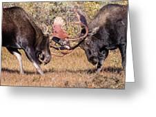 Moose Bulls Spar Close Up Greeting Card