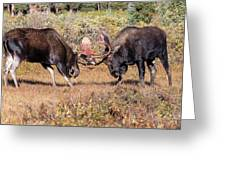 Moose Bulls Spar In The Colorado High Country Greeting Card