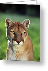 Mountain Lion Felis Concolor, Portrait Greeting Card