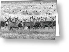 Mule Deer Black And White 01 Greeting Card by Rob Graham
