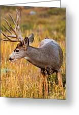 Mule Deer Buck In Rocky Mountain National Park Greeting Card