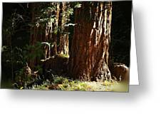 New Growth Redwoods Greeting Card