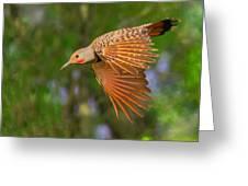 Northern Flicker In Flight Greeting Card