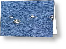 Northern Gannets At Cap Gaspe In Forillon National Park, Quebec  Greeting Card by Ruth Hager