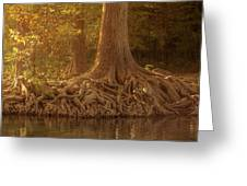 Old Cypress Tree Roots Greeting Card